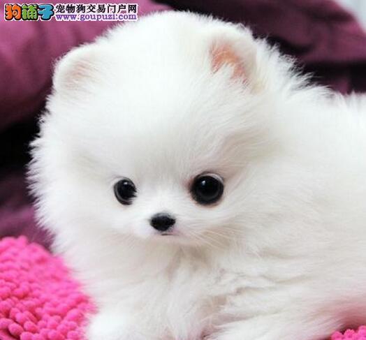 美丽大方活泼可爱的西宁博美犬找新家 狗贩子勿扰
