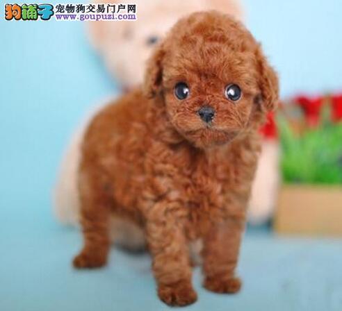 低价转让韩系血统贵宾犬 北京同城可免费送到家有赠品