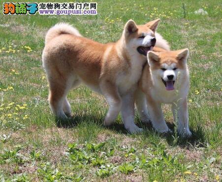 低价出售精品纯种日系哈尔滨秋田犬 已做好疫苗和驱虫