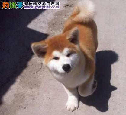 专业犬舍出售纯种日系深圳秋田犬 价格可商定非诚勿扰