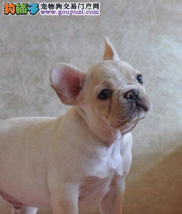 出售三亚法国斗牛犬专业缔造完美品质签正规合同请放心购买