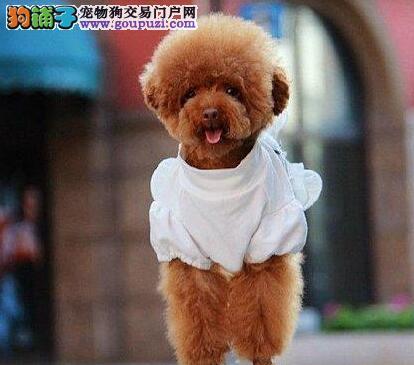 出售自家繁殖泰迪/贵宾幼犬