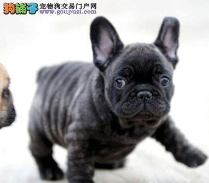 出售赛级法国斗牛犬,CKU品质绝对保证,等您接它回家