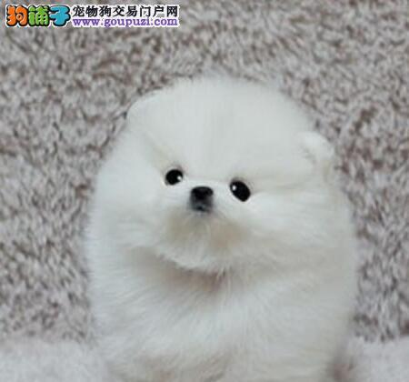 活泼可爱超小体型的南宁博美犬热销中 可随时视频看狗