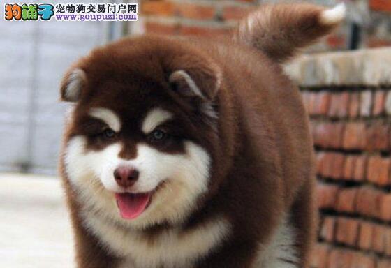 英俊潇洒的南宁阿拉斯加犬找新家 十分帅气品相极佳