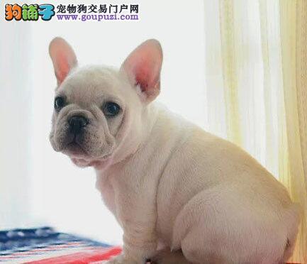 专业狗场直销冠军级杭州法国斗牛犬签协议包纯种