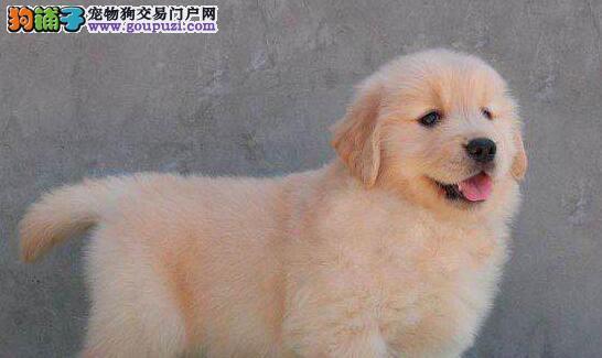 出售多种颜色纯种金毛幼犬签订合法售后协议