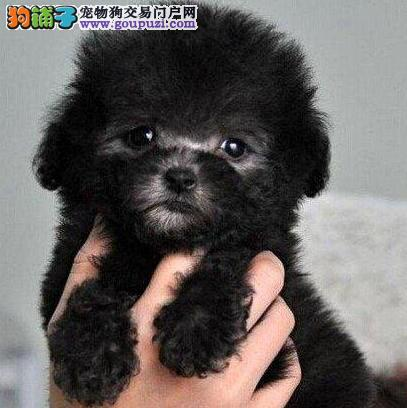 茶杯玩具血系的南宁泰迪犬找新主人 爱狗人士优先选购