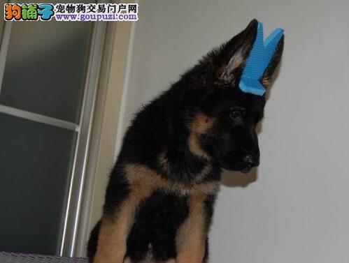 苏州基地直销德国牧羊幼犬 可办理血统证
