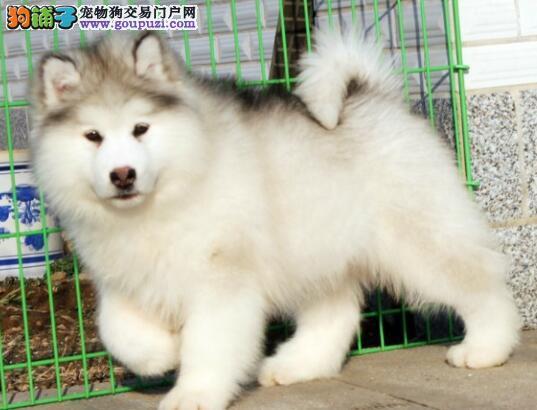 大庆狗场转让十字脸的阿拉斯加犬 保证品质和售后