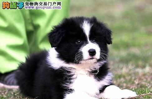 高智商极其聪明的广州边境牧羊犬优惠出售 请放心选购