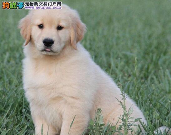 南昌大型犬舍专业繁殖直销出售大骨架金毛犬 已做疫苗
