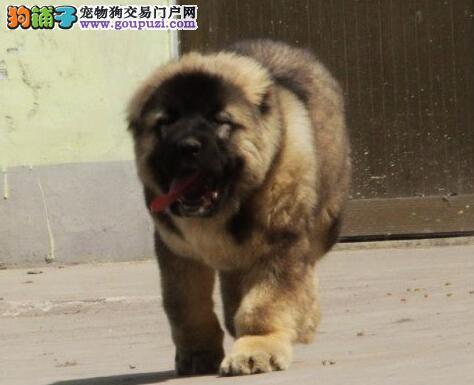 狼青色巨型品相的高加索犬转让中 珠海市内免费送货