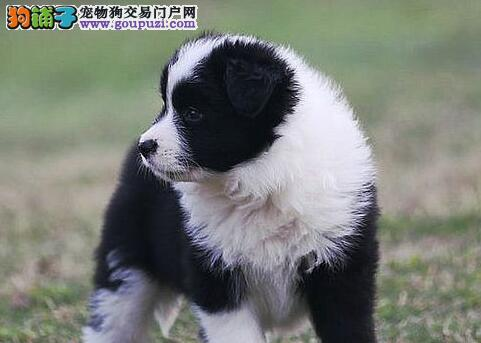 重庆热卖边境牧羊犬多只挑选视频看狗欢迎实地挑选