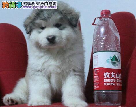 天津实体店热卖阿拉斯加犬颜色齐全狗贩子请勿扰