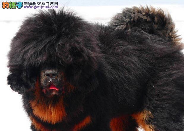 狮子头铁包金血系的绍兴藏獒幼崽找新家 请您放心选购
