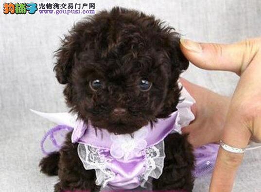 绍兴实体狗场出售实物拍摄的泰迪犬 可送货上门选择