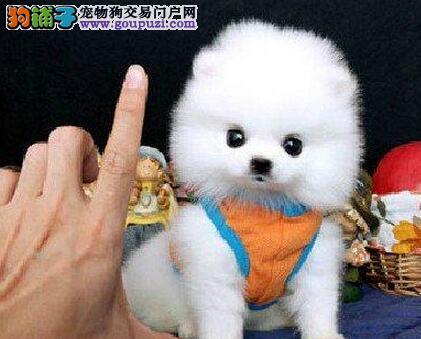 顶级博美犬宝宝 品质极佳品相超好 等您接它回家