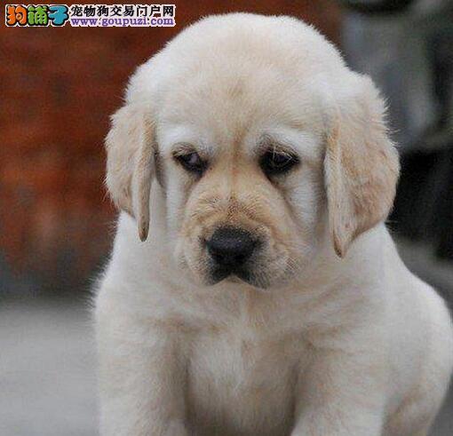 绍兴正规养殖基地出售大头版拉布拉多犬 签署合法协议