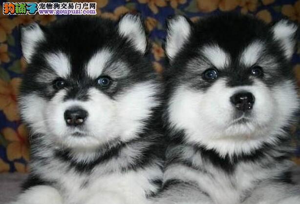 石家庄正规犬舍出售品质高价格低的阿拉斯加犬