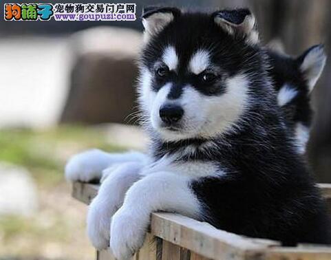 帅气英俊的南通阿拉斯加犬转让 数量有限 非诚勿扰