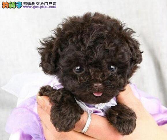 出售高品质泰迪犬 金牌店铺品质保障 全国送货上门