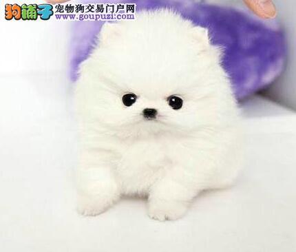 低价出售纯种哈多利版博美犬 杭州周边地区可送狗