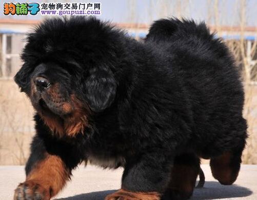 出售赛级品质藏獒 杭州正规獒园低价直销保证品质