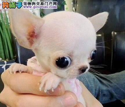 杭州实体店出售可爱苹果头杭州吉娃娃 血缘清楚