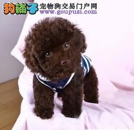 出售多只优秀的泰迪犬白银可上门品质优良诚信为本