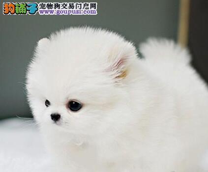 温州大型狗场低价出售哈多利版球体俊介血系博美犬