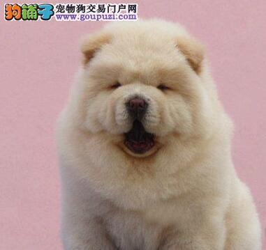 志强名犬基地低价出售各种名犬松狮