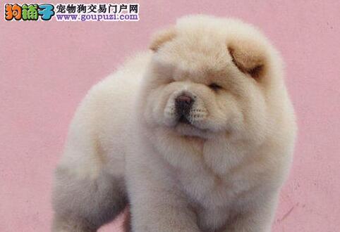 极品纯正的沈阳松狮幼犬热销中爱狗人士优先