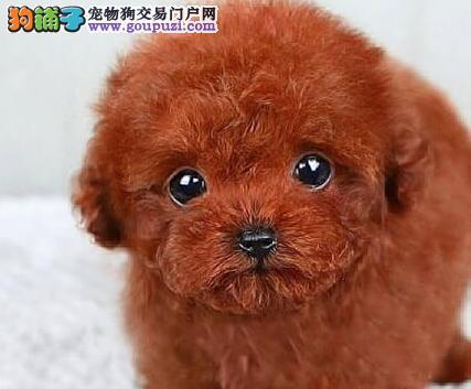 可爱至极乖巧听话的东莞泰迪犬找新家 随时上门选购