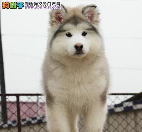 家直销极品雪橇犬阿拉斯加宝宝/CKU认证品质绝对保证