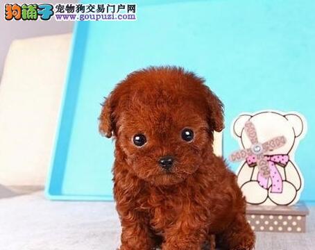 精品纯种武汉贵宾犬出售质量三包签订协议终身质保