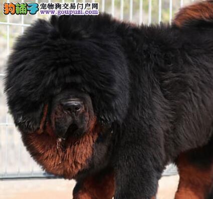长沙出售极品藏獒幼犬完美品相包养活送用品