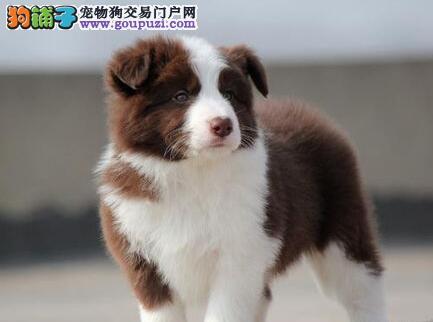 果洛州出售极品边境牧羊犬幼犬完美品相外地可空运已驱虫