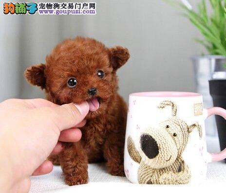 自己繁殖的纯种韩系泰迪幼犬出售来家可见种犬