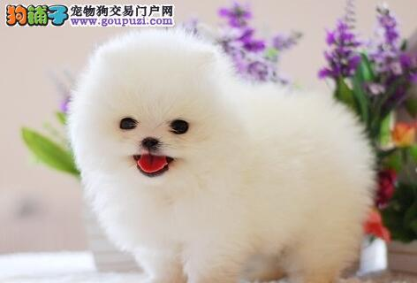 蚌埠出售博美犬公母都有品质一流签订终身纯种健康协议