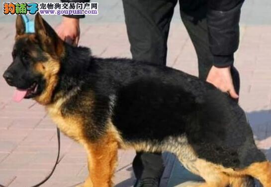 广州基地转让赛级品质德国牧羊犬疫苗已做