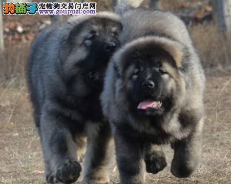 赛级品质保证CKU注册犬舍直销纯种高加索幼犬 非诚勿扰