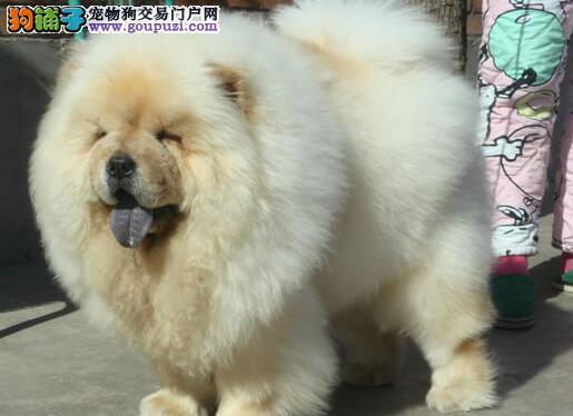 超大毛量品质极佳的天津金毛犬找新主人 签订购犬协议