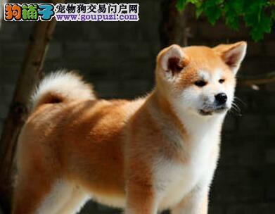 出售秋田犬宝宝,可看狗狗父母照片,签署合同质保