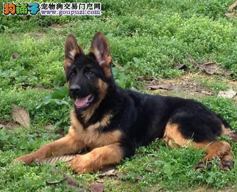 郑州自家繁殖的纯种德国牧羊犬找主人市内免费送货