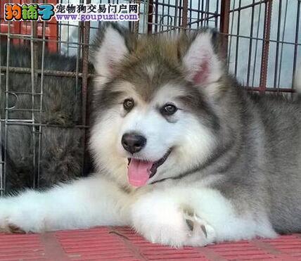 贵阳自家狗场出售优秀阿拉斯加雪橇犬 可办理证书