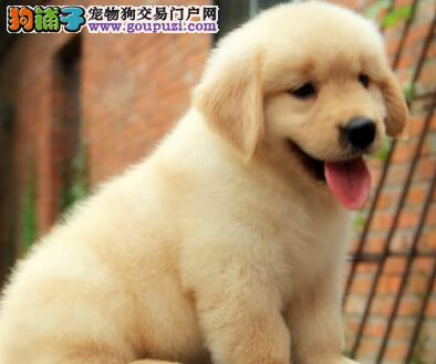 家养金毛犬转让重庆市区内上门购买可优惠