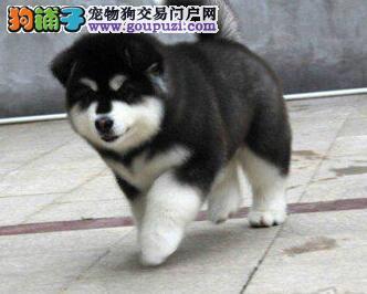 颜色全品相佳的阿拉斯加犬纯种宝宝热卖中当日付款包邮