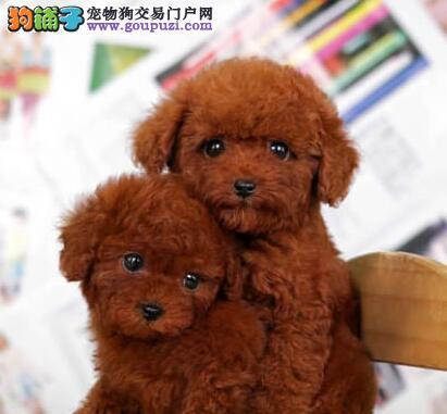 有卖贵宾犬 广州那里有卖贵宾犬 纯种贵宾犬好不好养