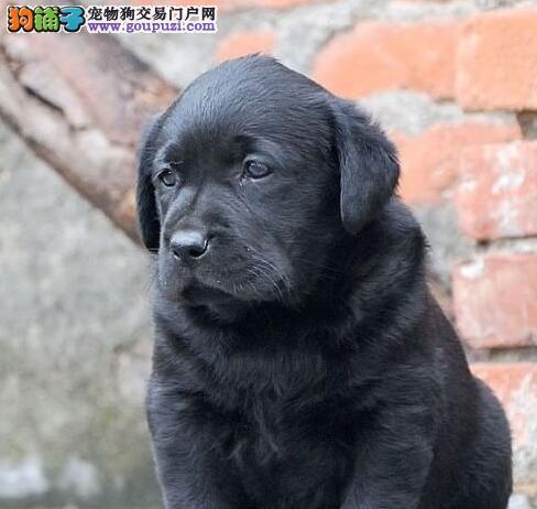 养殖基地直销好品质南宁拉布拉多犬可保证血统